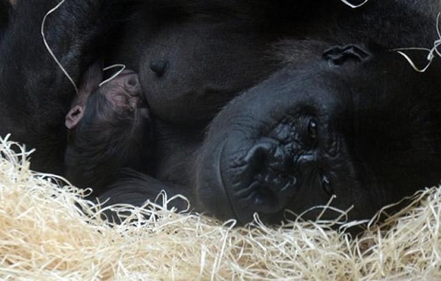 gorilla_04